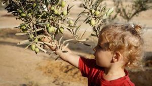 Plant 1 Olive tree in Israel In Your Name