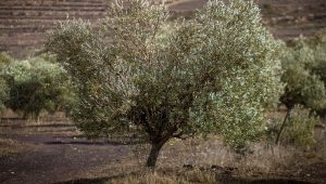 Plant 8 Olive Trees In Israel In Your Name