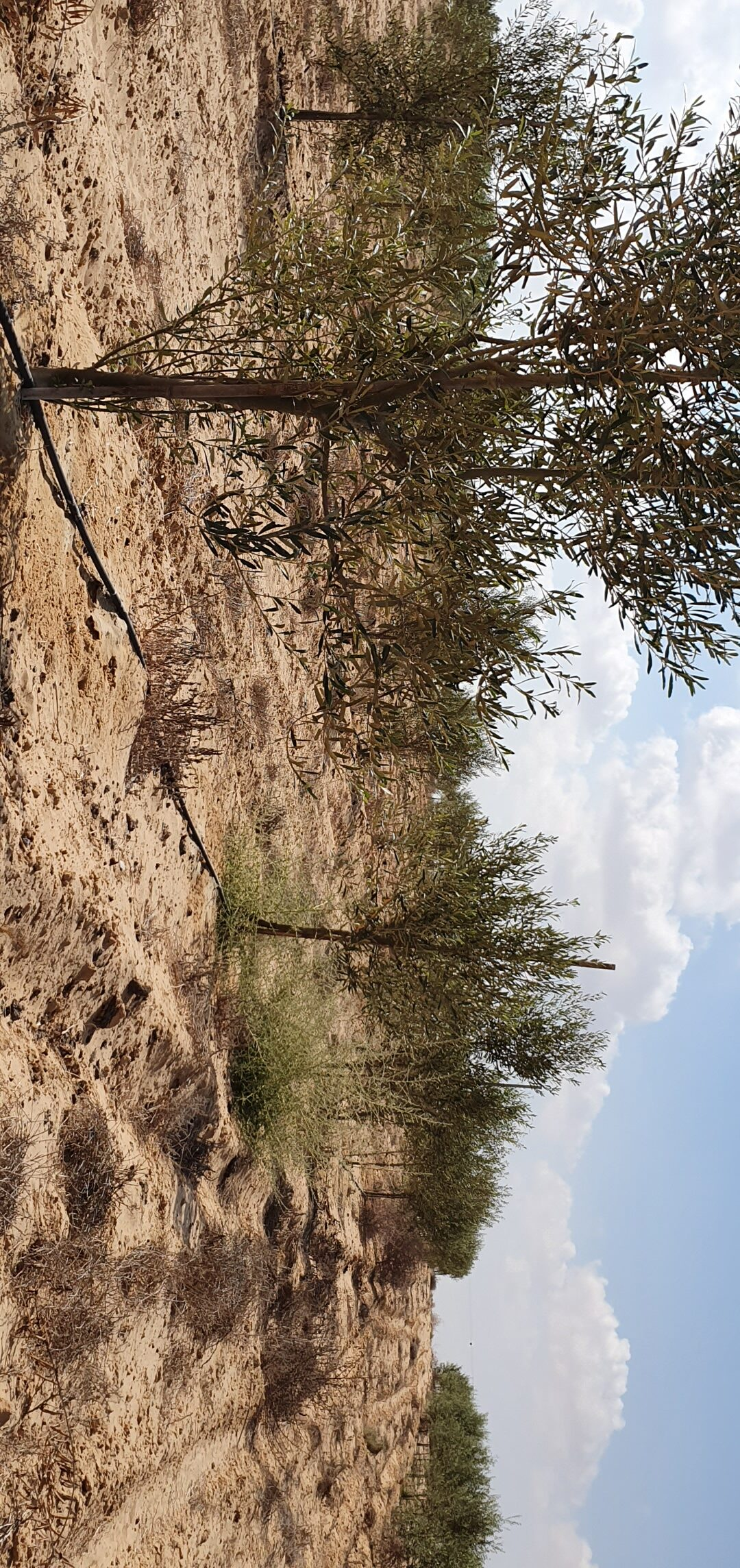 Plant 8 Olive Trees In Your Name In Israel