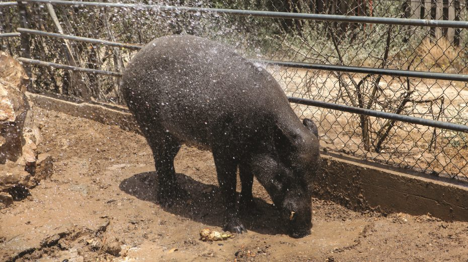 PIG OUT: This wild boar was out of bounds