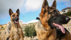 Israeli dogs detect cancer