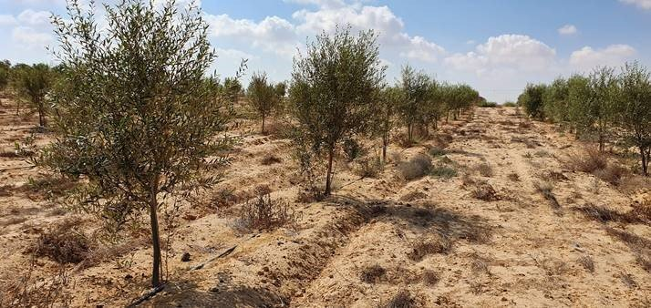 Unser Weinberg in der Negev-Wüste