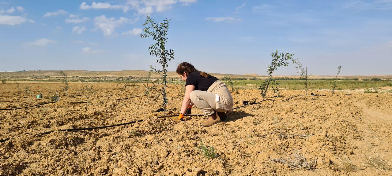 Olivenbaumpflanzung