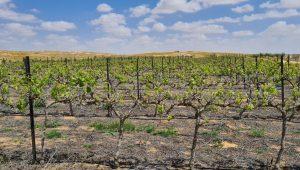 Israel Today vineyard
