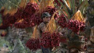 Harvesting dates on the kibbutz