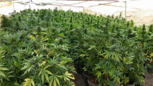 Cannabis operation in the Negev