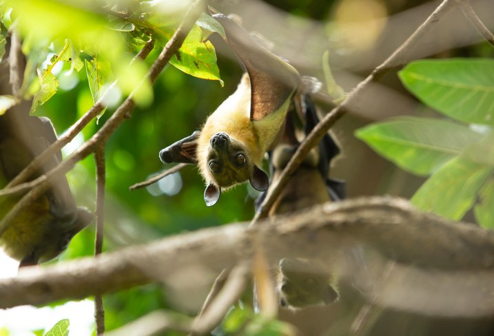 Bats are not to blame, insist Israeli biologists
