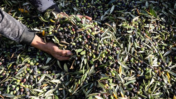 Palestinians collect olives during the annual harvest season, east of Al-Bureij refugee camp in the central Gaza Strip.