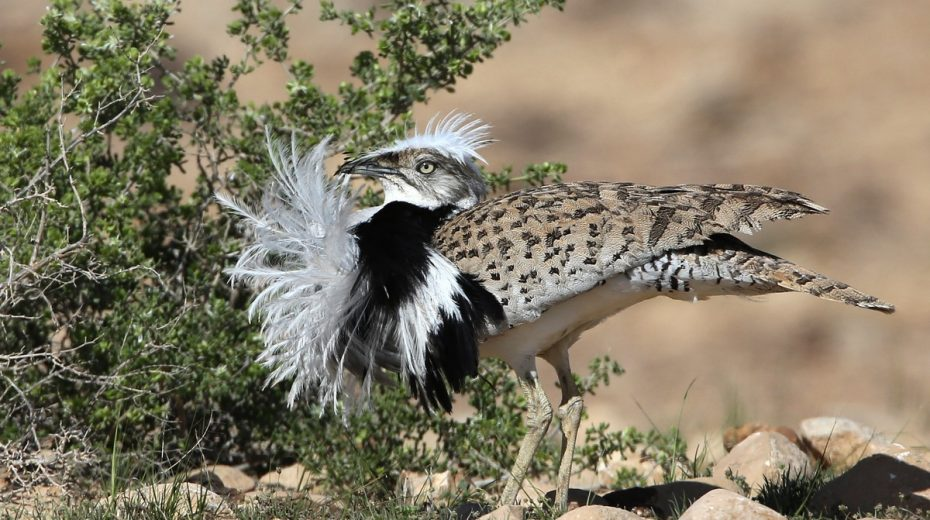 An endangered houbara bustard in the Negev Desert.