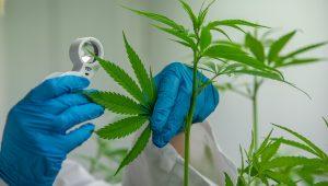 Israel views cannabis as a major potential export crop.